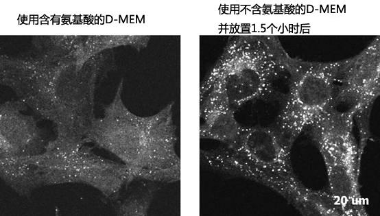 D-MEM(高葡萄糖)(含有丙酮酸钠,不含氨基酸)