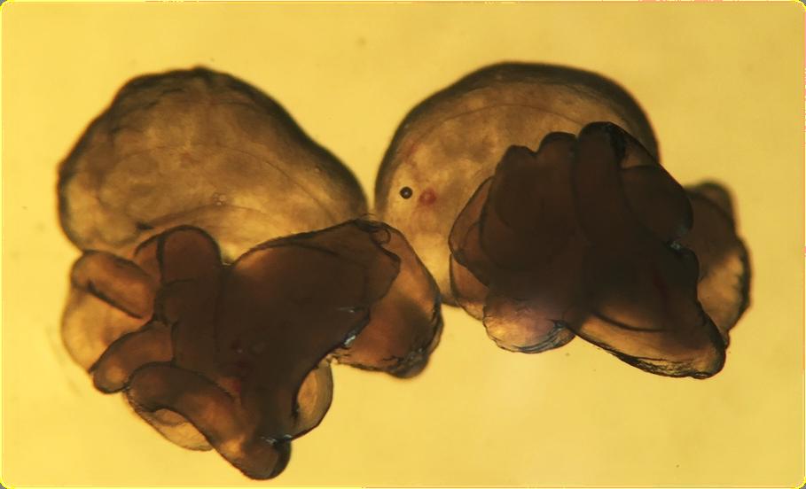 过量排卵诱导试剂