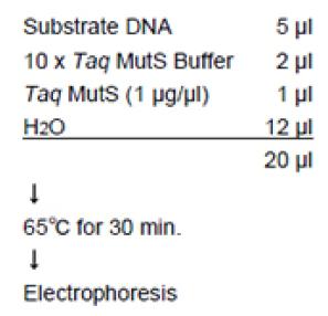 突变S Taq酶