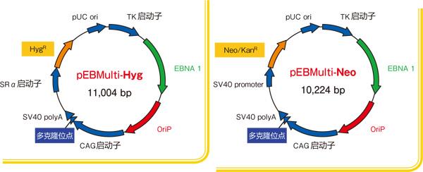 pEBMulti染色体外复制载体