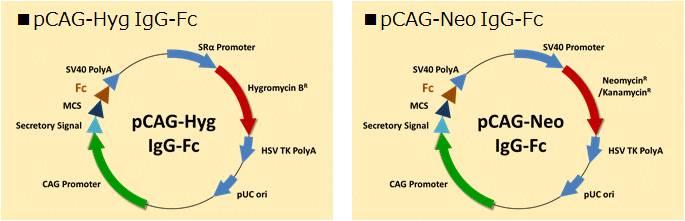 pCAG-Fc(Fc融合蛋白表达载体)