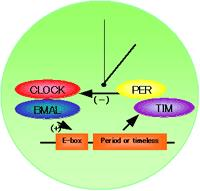 生物钟蛋白相关抗体