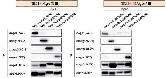 抗Ago单抗系列