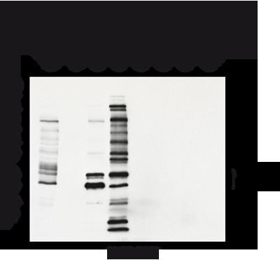抗微管蛋白(甘氨酰化),多克隆抗体(Gly-pep1)